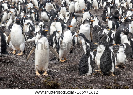 Gentoo Penguin - Pygoscelis Papua - Gentoo Penguin Colony - Parents And Chicks - Falkland Islands / Gentoo Penguin - Parents And Chicks - stock photo