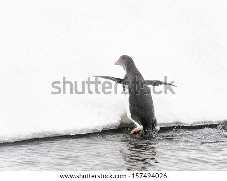 Gentoo penguin (Pygoscelis papua) tries to climb over the snow hill from the water - stock photo