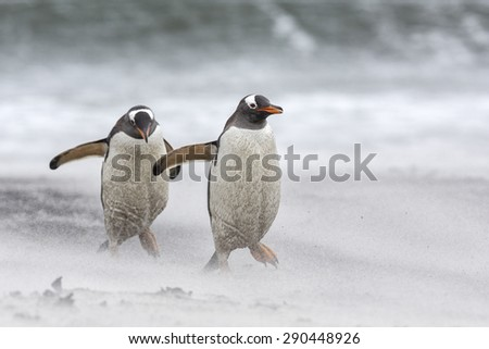Gentoo Penguin, Pygoscelis papua, walking on shore in a sandstorm