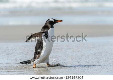 Gentoo penguin runs over the coast.  Falkland Islands, South Atlantic Ocean, British Overseas Territory - stock photo
