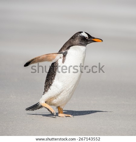 Gentoo penguin runs over the sand - stock photo
