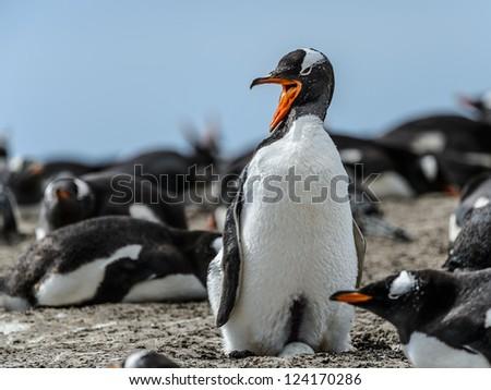 Gentoo penguin screams.  Falkland Islands, South Atlantic Ocean, British Overseas Territory - stock photo
