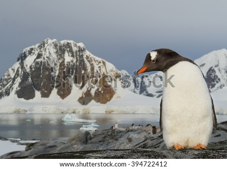 Gentoo penguin standing on the rock, colony and huge mountains in background, Antarctic Peninsula - stock photo