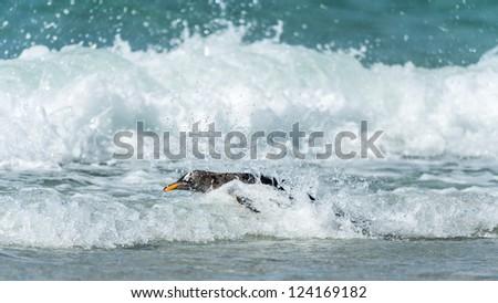 Gentoo penguin swims in the ocean.  Falkland Islands, South Atlantic Ocean, British Overseas Territory - stock photo