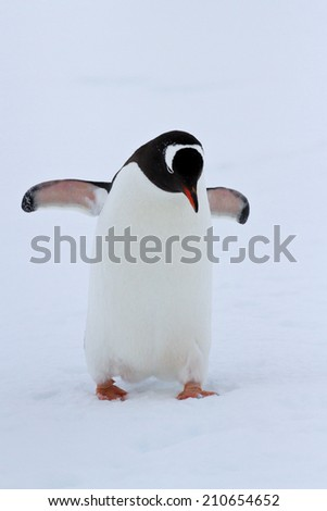 Gentoo penguin walking on snow winter overcast day - stock photo
