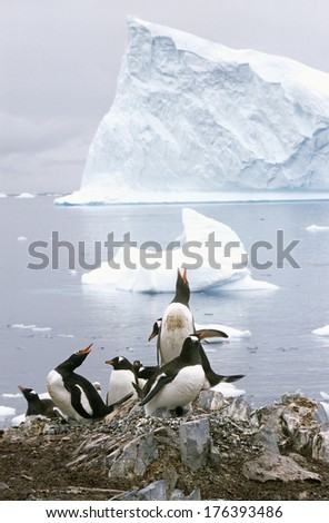 Gentoo penguins and chicks (Pygoscelis papua) at rookery in Paradise Harbor, Antarctica - stock photo