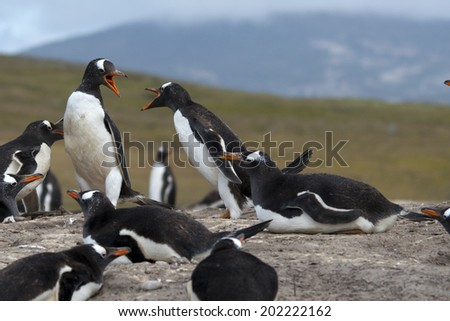 Gentoo penguins having a discussion, Saunders Island, Falkland