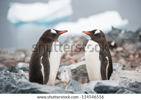 Gentoo penguins looking in the mirror on the Antarctica beach - stock photo