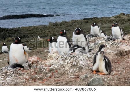 Gentoo penguins nesting ground on Barrientos island, Antarctica - stock photo