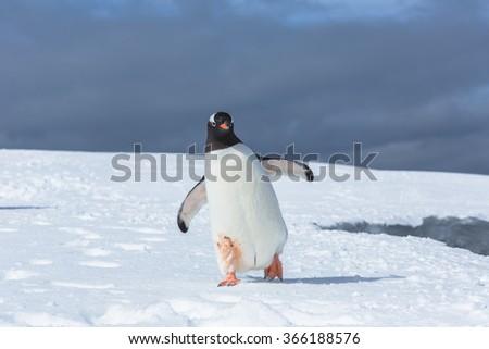 Gentoo Penguins on Icebergï¼?antarcticã?? - stock photo