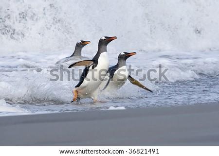 Gentoo penguins (Pygoscelis papua) walking onto the beach when returning from a feeding trip to Sea Lion Island, Falkland Islands - stock photo