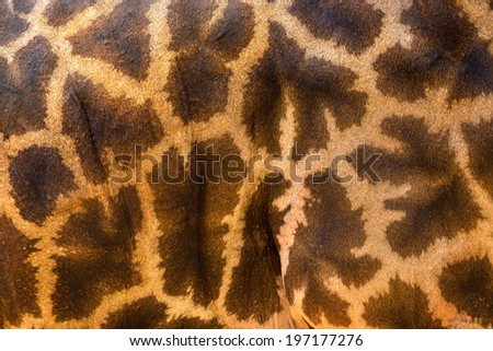 genuine leather skin of giraffe. - stock photo