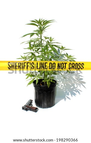 "Genuine Medical Marijuana Plant growing in a 1 gallon black pot, isolated on white with genuine ""Sheriff's Line Do Not Cross"" yellow caution tape and .45 caliber hand gun. representing danger and pot - stock photo"