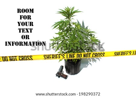 """Genuine Medical Marijuana Plant growing in a 1 gallon black pot, isolated on white with genuine """"Sheriff's Line Do Not Cross"""" yellow caution tape and .45 caliber hand gun. representing danger and pot - stock photo"""