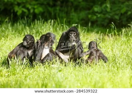 Geoffroy's spider monkey family - stock photo