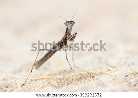 Geomantis larvoides - stock photo