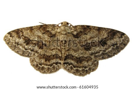 Geometer moth isolated on white - stock photo