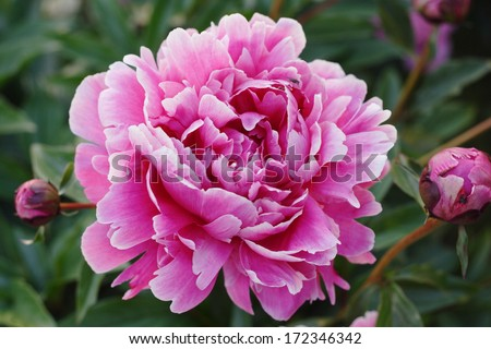 Georgeous peony in a full bloom - stock photo