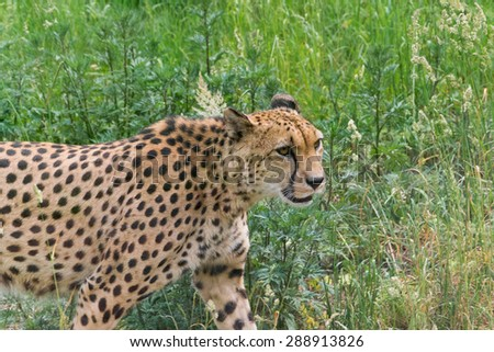 Gepard - stock photo