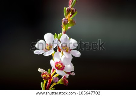 Geraldton Wax Flower, Chamelaucium uncinatum, is the best known of the wax flowers. The shrub is grown extensively in Australia and overseas as a cut flower. Colours are  white, pink,mauve and purple - stock photo