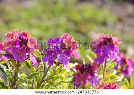 Geranium  - stock photo