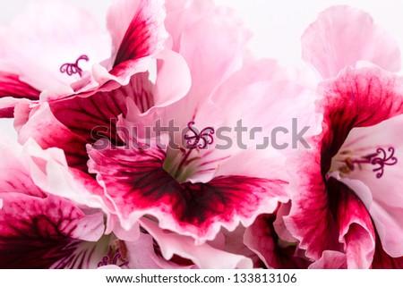 geranium flower isolated on white background - stock photo