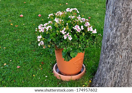 Geranium in flowerpot - stock photo