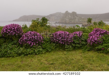 Geranium maderense (Giant Herb Robert) Growing on a Grassy Bank with The Ruins of Cromwell's Castle in the Background on a Misty Morning on the Island of Bryher in the Isles of Scilly, England, UK - stock photo