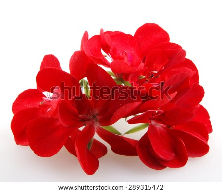 Geranium Pelargonium - stock photo