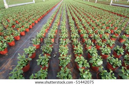 Geranium plants in a greenhouse - stock photo