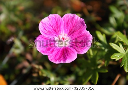 Geranium sanguineum, common names bloody crane's-bill or bloody geranium - stock photo