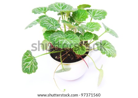 geranium tree - stock photo