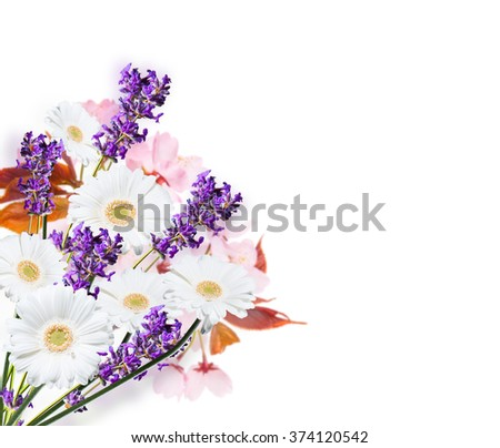 Gerber Daisy, and lavender isolated on white background - stock photo