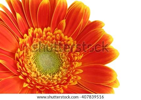 Gerber daisy flower on white background - yellow and orange tint - macro flower background - stock photo