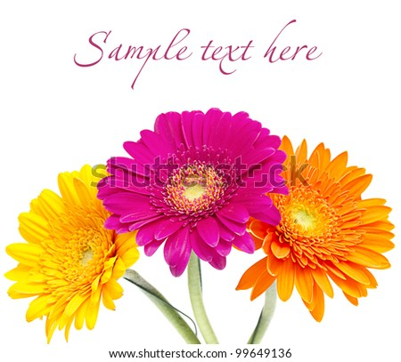 Gerber Daisy isolated on white background - stock photo