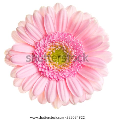Gerber Daisy on white background - stock photo