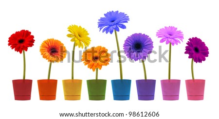 Gerber flower in a flowerpot isolated on a white background