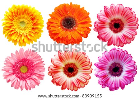 gerber flower isolated on white background