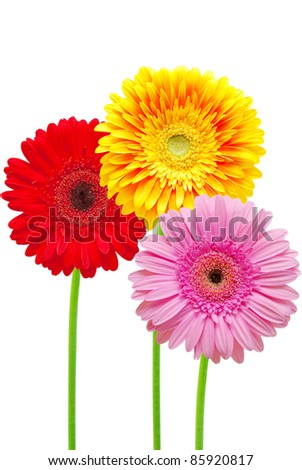 gerber flower isolated on white background - stock photo