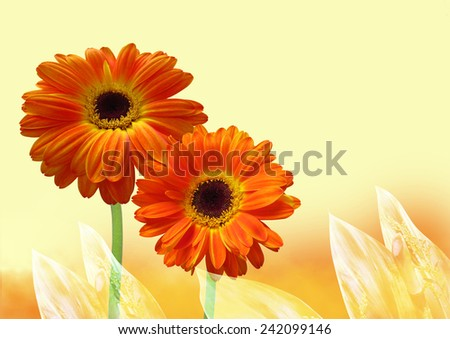 Gerber flower.Orange gerber flower on yellow background - stock photo