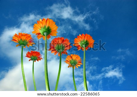 Gerber flowers against blue sky - low angle view - stock photo