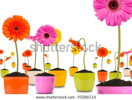 Gerber flowers in flower pots, isolated on white background - stock photo