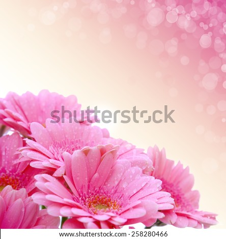 Gerber flowers isolated on pink background.Birthday card. - stock photo