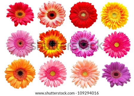 Gerber flowers isolated on white background - stock photo