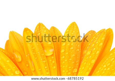 Gerber petals with water drops isolated on white background - stock photo