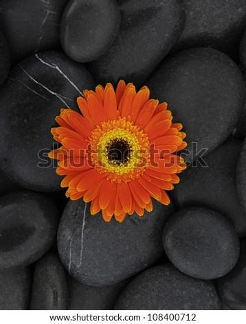 Gerbera (african daisy) on  pebbles