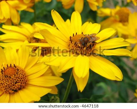 Gerbera and honeybee - stock photo
