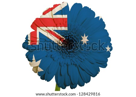 gerbera daisy flower in colors national flag of australia on white background as concept and symbol of love, beauty, innocence, and positive emotions - stock photo