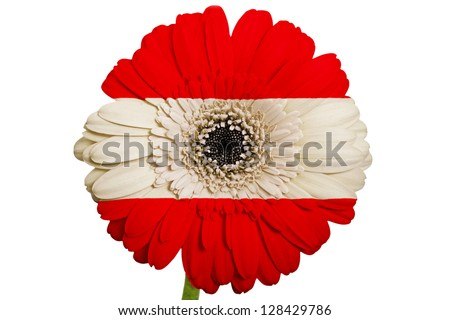 gerbera daisy flower in colors national flag of austria on white background as concept and symbol of love, beauty, innocence, and positive emotions - stock photo