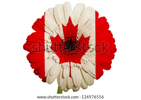 gerbera daisy flower in colors national flag of canada on white background as concept and symbol of love, beauty, innocence, and positive emotions - stock photo